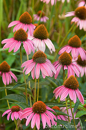 Free Echinacea Purpurea Royalty Free Stock Images - 186659