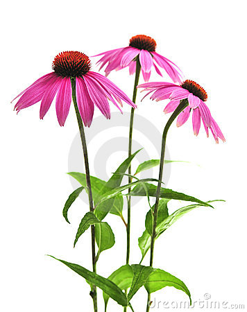 Free Echinacea Purpurea Plant Royalty Free Stock Images - 6191539