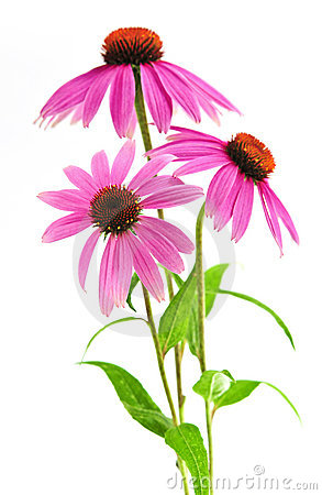 Free Echinacea Purpurea Plant Stock Photography - 6218102