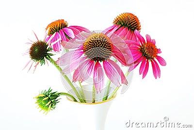 Echinacea  in a vase (Echinacea purpurea)