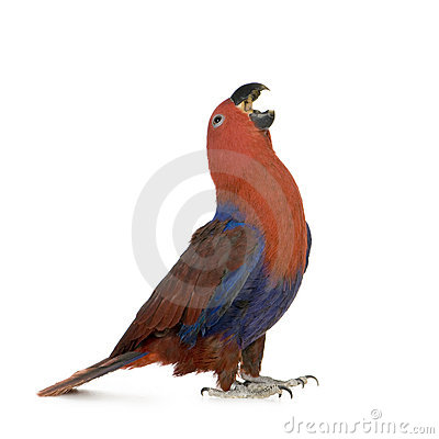 Free Eclectus Parrot - Eclectus Roratus (1 Years) Stock Image - 4991271