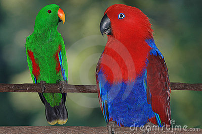 Eclectus Parrots Royalty Free Stock Photo - Image: 5977385