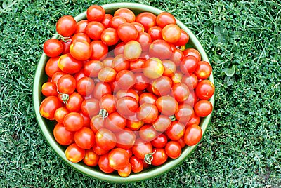 Ecological cherry tomatoes in a basin