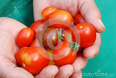 Ecological cherry tomatoes in hands