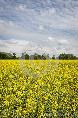 Ecological rape field in Poland