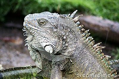 Ecuador Iguana