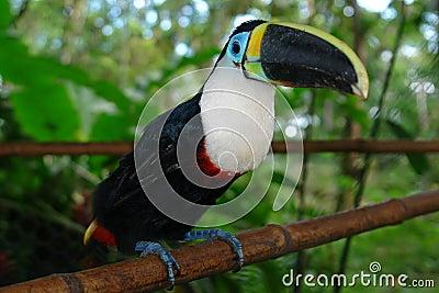 The ecuadorian amazonian rain forest toucan