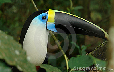 The ecuadorian rain forest toucan
