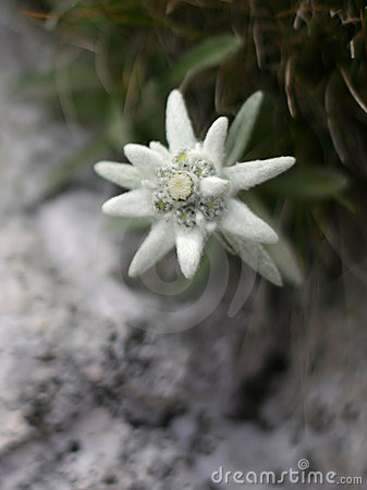 Free Edelweiss Alpine Flower Stock Photo - 22440