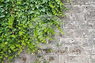 Edera rampicante fotografie stock immagine 14587193 for Edera rampicante