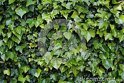 Edera rampicante fotografie stock libere da diritti for Edera rampicante