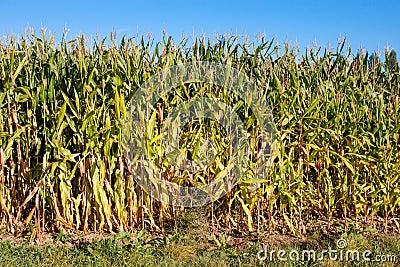 Edge of corn field
