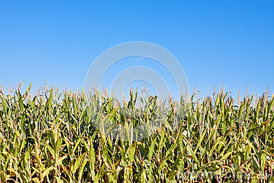 Edge of corn field