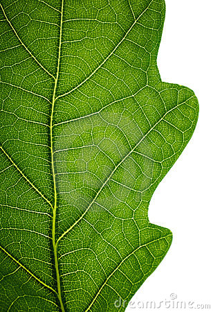 Edge of an oak leaf