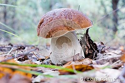 Edible boletus mushroom