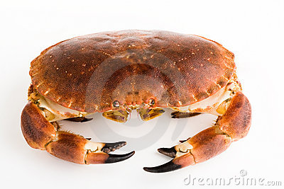 Edible crab / Cancer pagurus
