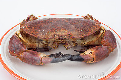 Edible crab ( cancer pagurus )