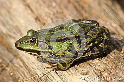 Edible Frog (Pelophylax