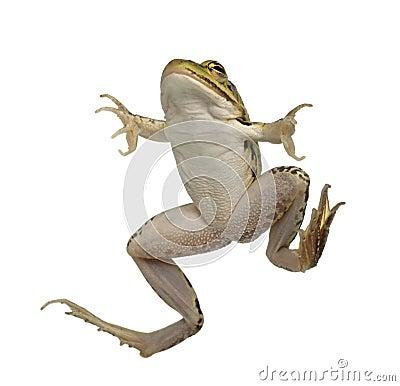 Edible Frog, Rana esculenta