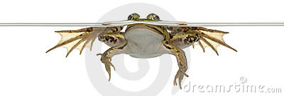 Edible Frog, Rana esculenta, in water