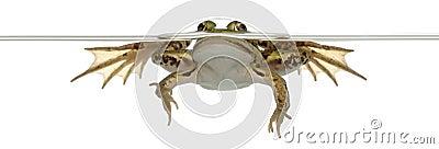 Edible Frog, Rana esculenta, in water