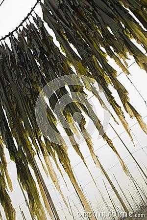 Edible kelp