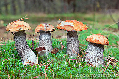 Edible mushrooms in forest