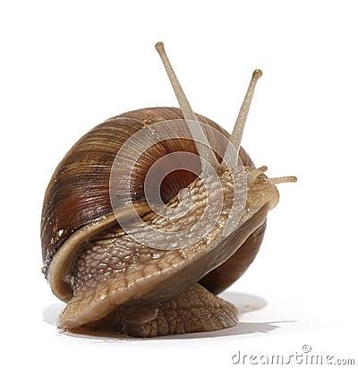 Free Edible Snail Royalty Free Stock Photos - 10005758