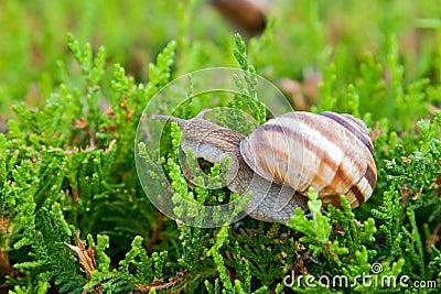 Edible snail (Helix pomatia)