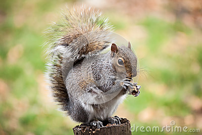 Eekhoorn die pinda eten