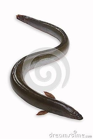 Free Eel Stock Image - 21604101