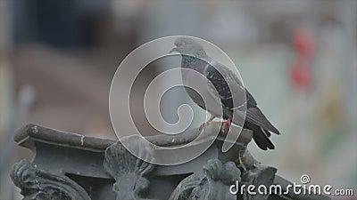 Een eenzame duif zit op een pilaster stock video