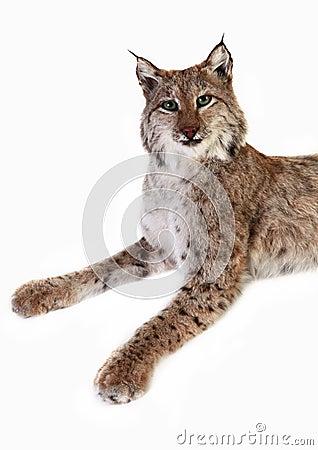 Een gevulde lynx