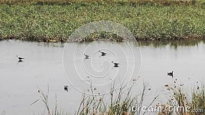 Een groep heronen in een ondiepe vijver stock videobeelden