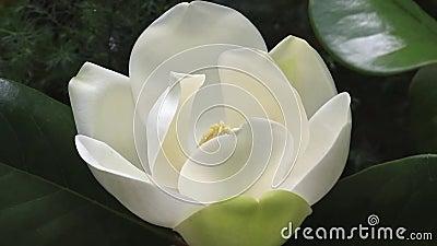 Een grote, griezelige, witte magnolia Magnolia Grandiflora bloesem vlakbij de boom stock videobeelden