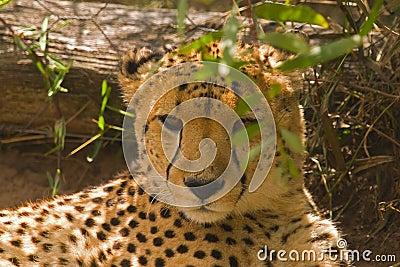 Een jachtluipaard die in de schaduw liggen