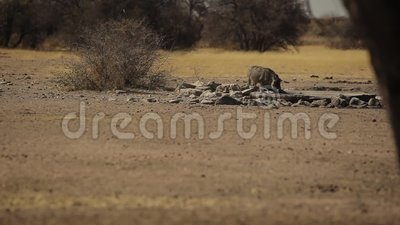 Een kleine beer drinkt water in het midden van de savanne stock footage