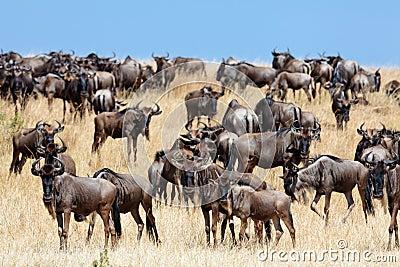 Een kudde van het meest wildebeest migreert op de savanne