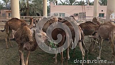 Een kudde van kamelen op het landbouwbedrijf feeding stock video