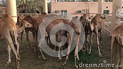 Een kudde van kamelen op het landbouwbedrijf feeding stock videobeelden