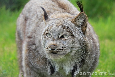 Een lynx