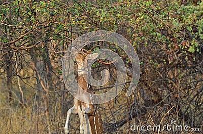 Een mannetje bevlekte chital herten springend om voedsel te eten stock fotografie afbeelding - Centraal eiland om te eten ...