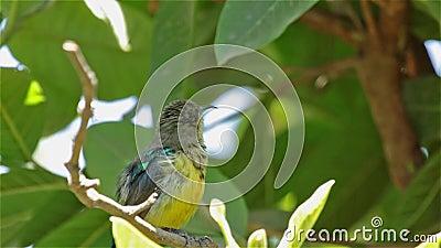 Een mooie Tacazze Sunbird op een takje stock footage