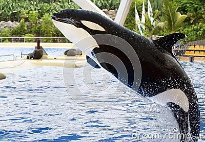 Een springende orka, Orka Orcinus