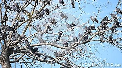 Een troep van duiven op de boom stock video