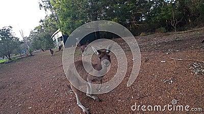 Een wilde kangoeroe die weg in een vakantiepark springen van Perth, Westelijk Australië stock video