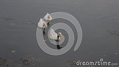 Eenden zeevogel-zeevogel-ganzen zwanen, Anatidae of watervogel Wading shorebird family zwemmen drijvend op bedachtreflectie stock footage