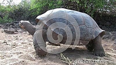 Eenzame George is wereldberoemde schildpadschildpad 400 jaar oud in de Galapagos stock videobeelden