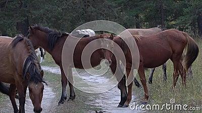 Efetivos de cavalos que atravessam a estrada na floresta perto das montanhas Altai video estoque