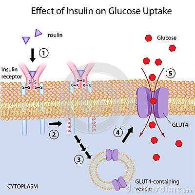 Effect of Insulin on glucose uptake